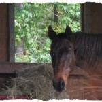 """Farewell to My """"Bella"""" Horse Friend, """"Ace"""", Death of My Horse"""