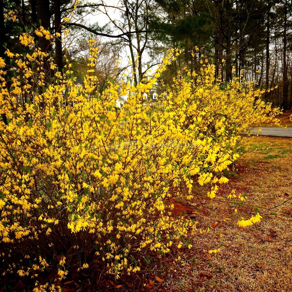 forsythia in february