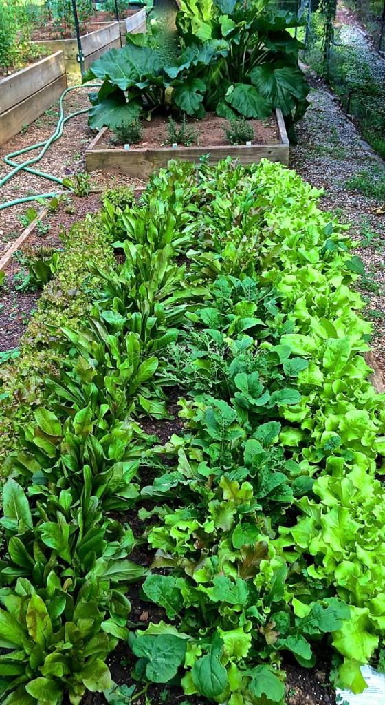my raised bed of 4 lettuce varieties is EXPLODING!